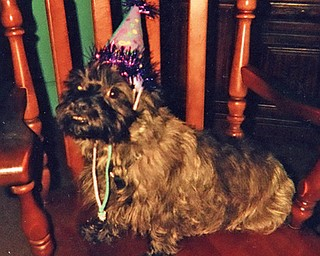 Here's Honey, a 5-year-old cairn terrier owned by Susanne Vrable of Campbell. The party hat was for Honey's fifth birthday party.
