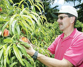 Lyle Johnston, owner of Apple Castle near New Castle looks at peaches on his farm 7-10-2008. He is the 5th generation of Johnstons to run the farm which  features orchards sweet corn and blueberries.