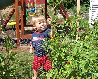 Evan Butler of Youngstown, 19 months, is always sneaking something out of the garden.  Here he thinks this cherry tomato looks just right!  Parents Brian and Susan Butler