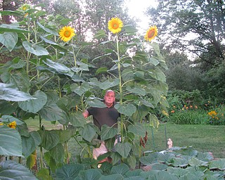John Densevich of Austintown has a remarkable stand of sunflowers. Photo by Carol Densevich.