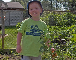 This is a picture of Alex Courson helping in his Grandparents garden in Austintown. Tomatoes are his favorite and happily this day they were ready to pick. Sent in by Mike and Theresa Semchee ( his grandparents).