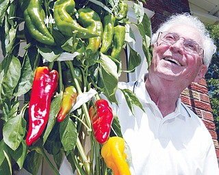 KNOWS HIS PEPPERS: Michael J. Lacivita, 84, shows off his crop of Italian sweet peppers grown in containers at his Youngstown home. He's been gardening most of his life and growing the peppers for 15 years. He's also won awards for his efforts. This crop is 6 feet tall, and he expects they will pass the 7-foot mark.