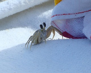 My boyfriend and I were vacationing in Cocoa Beach, Florida and he crawled right onto our beach blanket!!! Skye Lyon of Hartford.