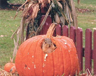 """Heather Antonucci of Girard came home from work at lunchtime to find this squirrel making lunch out of her pumpkin. She says it was completely hollowed out inside. The squirrel has since become """"hers,"""" even eating from her hand."""