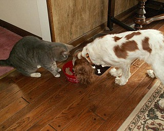 """""""This is my cat SIMBA and my Cavalier King Charles dog named ABBY. They are sharing a bowl of food together and going for a walk in the yard. But at any time you can see them chasing each other around the house."""" Denise Deluca"""