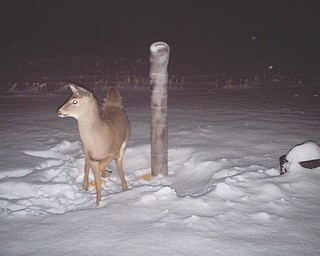 Ev Pecoraro of Canfield's wildlife camera caught this young fawn enjoying its first snowfall.