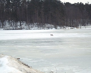 Doreen Knight. spotted this coyote crossing the frozen Meander Reservoir when she was on the Mahoning Avenue bridge.
