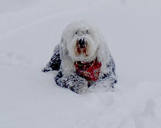 Shadow, a 7-year-old Old English sheepdog would rather live in the blizzard, says her owners, Jim & Karen Ament.