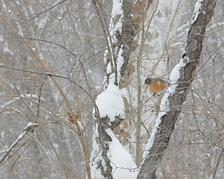 Dan Shields of Canfield zeroed in on this robin in winter.