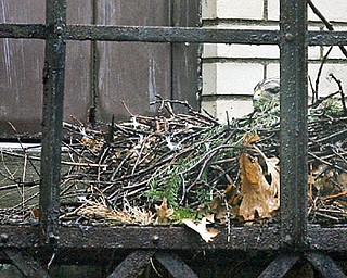 A hawk that made its nest in the Hartzell Rd. School hunkers down in the nest built on the fire escape for the auditorium at Washington Elementary in Niles.