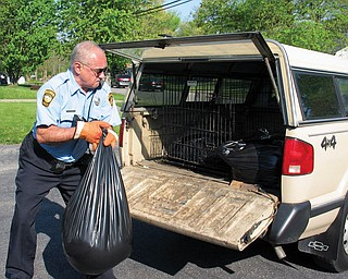 CLEANUP JOB: John Onatz, animal control officer with the Warren Police Department, hauls the remains of one of the three dogs shot by city police on Merriweather Street Northwest into his pickup truck. The dogs attacked a boy waiting for his school bus Tuesday morning.