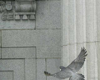 Peregrine Falcon Nest at the Mahoning County Courthouse, Youngstown, OH.
