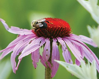Sister Mary Ann, 90, has transformed the gardens at the Ursuline Mothers House - with her green thumb- here a bee takes full advantage of her abilities.