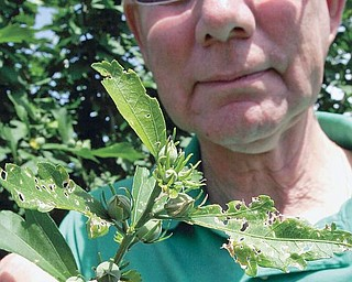 Steve Hudkins, master gardener with OS extension in Cortland shows damage to leaves from Japanese Beetles. wdlewis