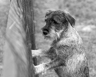 Willow, a schnauzer owned by Ken Carter, seems anxious to join the other four-legged park visitors.
