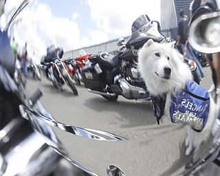 1.5 year old samoyed d'Artagnan is reflected in a motorcycle in the parking lot of Harley Davidson Biketown. He is a donation dog working with Angels for Animals during the charity event, Sunday July 19, 2009 Lisa-Ann Ishihara