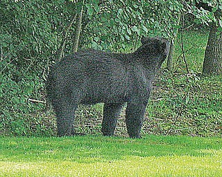 A black bear is spotted over the weekend in Canfield.