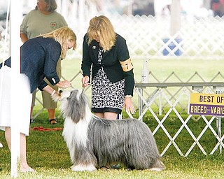 BEST OF BREED -  Judge Minna Liisa Koles judges the Beared Collie of  Diane Hanigan (one n)  of New Town Pa as she shows Brigadoon -One- Day- At -Time to the honor of Best of Breed today Thursday - -as the four day Steel Valley Cluster Dog Show at the Canfield Fairgrounds runs through Sunday - robertkyosay