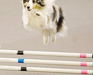 LOOK, UP IN THE SKY. IT'S A  DOG? Troy, a shetland sheepdog owned by Denise Letterman of Moon Township, Pa., runs the obstacle course during agility trials Saturday in Washingtonville.