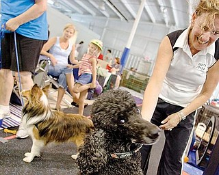 WHAT'S UP: Skyy, a standard poodle, seems more interested in the camera than in his owner, Shelly Wallens of Bainbridge Township. Wallens was taking Skyy out of his crate for a little walk during the dog agility trials at Four Seasons K9 Athlete Center in Washingtonville.
