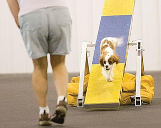 Dog agility trials at Four Seasons K9 Athlete Center in Washingtonville.