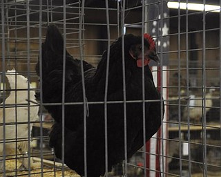 A rooster at the fair