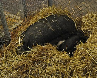 Baby pigs in Old McDonald's barn.