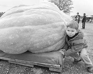 NOTHING'S IMPOSSIBLE: Tommy Angelucci, 3, of Concord uses his shoulder to push against a large pumpkin at the Ohio Valley Giant Pumpkin Growers weigh-off. Tommy's dad, Mike, was one of the competitors Saturday at Parks Garden Center in Greenford.