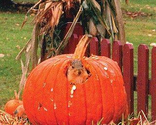ENGOURDED: When Heather Antonucci of Girard came home for lunch one day,she found this squirrel inside her large pumpkin, which it had hollowed out. Heather says its stomach was so big, maybe it couldn't fit through the hole!