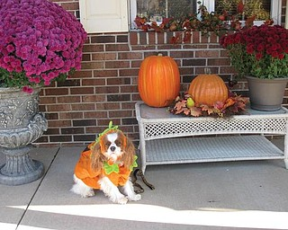 This is Abby, a Cavalier King Charles owned and loved by Tom and Denise DeLuca of Struthers. they say she loves to get dressed up and is awaiting lots of treats and no tricks this Halloween night.