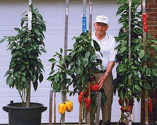 TEAM LACIVITA: Grandpa Michael J. Lacivita and grandsons Jeff Vicarel and Patrick Krieger won first, second and third premium ribbons in the Vegetable Oddities Division at this year's Canfield Fair for their giant pepper plants.