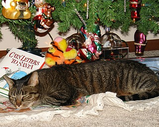 Cat's name is Liza Dolittle, and she resides at the Columbiana home of Jeff and Madawna Bacho. Once the tree goes up, you can find her sleeping under it everyday.