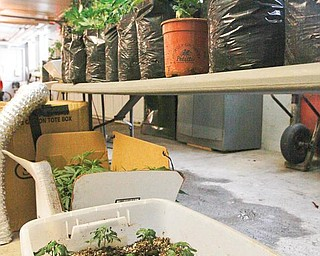 DRUG HAUL: Suspected marijuana plants in different stages of growth were confiscated from a house in Struthers. The bin contains sprouts. Mature, budding plants are on the table in the garage at the Struthers police station. Another growing operation in Youngstown was raided Wednesday.