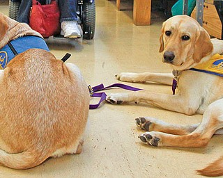 The Vindicator/Lisa-Ann Ishihara--- Diana Burns of Coitsville, in back, gets ready for her physical therapy session for the day. In front lies golden labradors from Canine Companions For Independence, Seven year old Santo and eleven month old Jaco (pronounced Jock-Oh) at Easter Seals Disability Services.