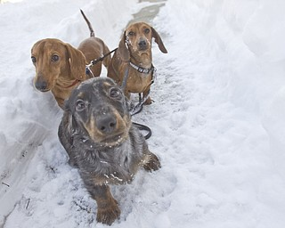 The Vindicator/Lisa-Ann Ishihara--- L-R Miniature Dachshunds, Canon Matte (red), Satellite Mixer (dapple) and Leica Focus (red) stick to a paved path of snow so they don't sink.