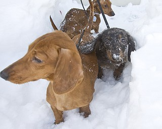 The Vindicator/Lisa-Ann Ishihara--- Front to Back; Miniature dachshunds Canon Matte, Satellite Mixer and Leica Focus stick to a paved path of snow so they don't sink.