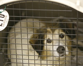 Dog 17 waits patiently inside a donated cage, after being seized from a Gustavus Township home last week.