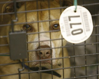 Dog 77 waits patiently inside a donated cage, after being seized from a Gustavus Township home last week.