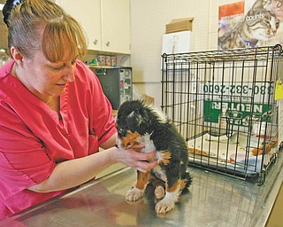 HANDLING WITH CARE: Sheri Stanley, manager of the Humane Society of Columbiana County's kennel, checks out Emma, a recently rescued mixed-breed dog. The society hopes to find better ways to deal with pet overpopulation, irresponsible breeding and animal cruelty and neglect.