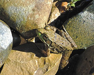 This frog was snapped by Tani Spielerg of Boardman on Lake Michigan shore near Charlevoix, Mich., in August 2008..