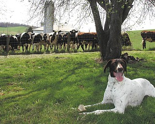 Teri Cecil sent this picture of her dog, Brooke, and some cow friends at a former home in New Philadelphia, Ohio..