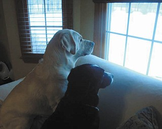 Judi Hockok of Canfield sent this picture of Lucky the Lab and Tally the Border, checking the neighborhood..