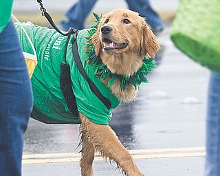 Rylee the dog, wearing a shirt supporting state Sen. Joe Schiavone of Alliance, D-33rd, participated in the St. Patrick's Day Parade in Sunday in Boardman. Also participating was Ohio Gov. Ted Strickland. It is believed to be the first time a sitting governor has attended the parade in its 32-year history.