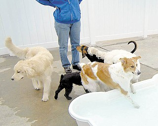 Anita Williams watches the dogs romp during playtime at Dogs All Day on South Boulevard in Charlotte, North Carolina, March 17, 2010. The 11,000-square-foot center opened a year ago, providing a service that's gaining fans here and across the country. The first local doggie day care opened about 10 years ago, and there are now about 20 in and around Charlotte. (Todd Sumlin/Charlotte Observer/MCT)