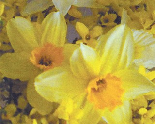 """Peg Sigle of Boardman shares this picture of her long-awaited fosythia and daffodils. She says is just isn't officially spring until they bloom, and it was a very welcome arrival after this past """"very long, very gloomy, very cold and very snowy winter."""""""