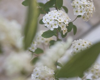 LISA-ANN ISHIHARA | THE VINDICATOR..A horticulture submission of the flower, Spirea Snowmound, for the Garden Forum Spring Flower show at Fellows Riverside Gardens.