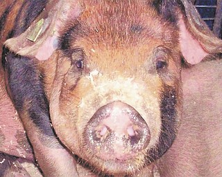 A close-up view of a pig by Annette McCarthy.