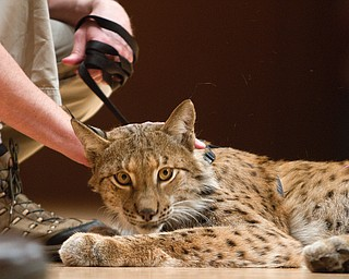 Geoffrey Hauschild|The Vindicator.A siberian lynx during a performance by the Youngstown Symphony in conjunction with Jack Hanna at the DeYor performing Arts Center on Sunday afternoon.