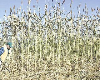 Bob Rea harvests sorghum on his Salem Twp. farm.