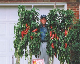 """Michael Lacivita of Youngstown, or """"The Pepper Man,"""" shows off his prize-winning plants that earned him first and second premium awards at a Valley favorite fall activity — the Canfield Fair. His daughter, Linda Lacivita Krieger, snapped the picture."""